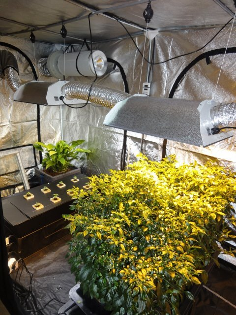 Our Current Main Display Grow Tent | Hydroponics Blog | Somerset Hydroponics & Our Current Main Display Grow Tent | Hydroponics Blog | Somerset ...